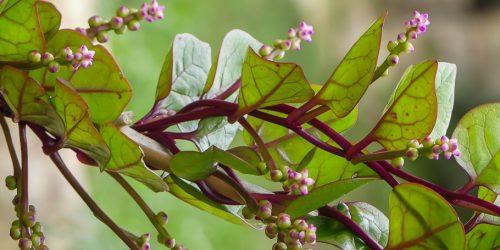 Popínavý špenát v ekozahradě