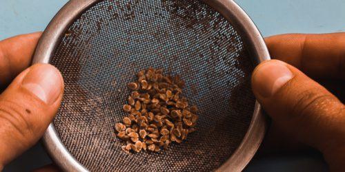 Semínka rajčat v sítku